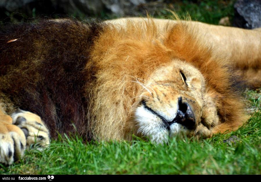 Service comm -Utenti - Pagina 6 G28bby1da4-leone-che-dorme-sul-prato-buongiorno-a-voi-io-resto-altri-10-min-a-letto_a